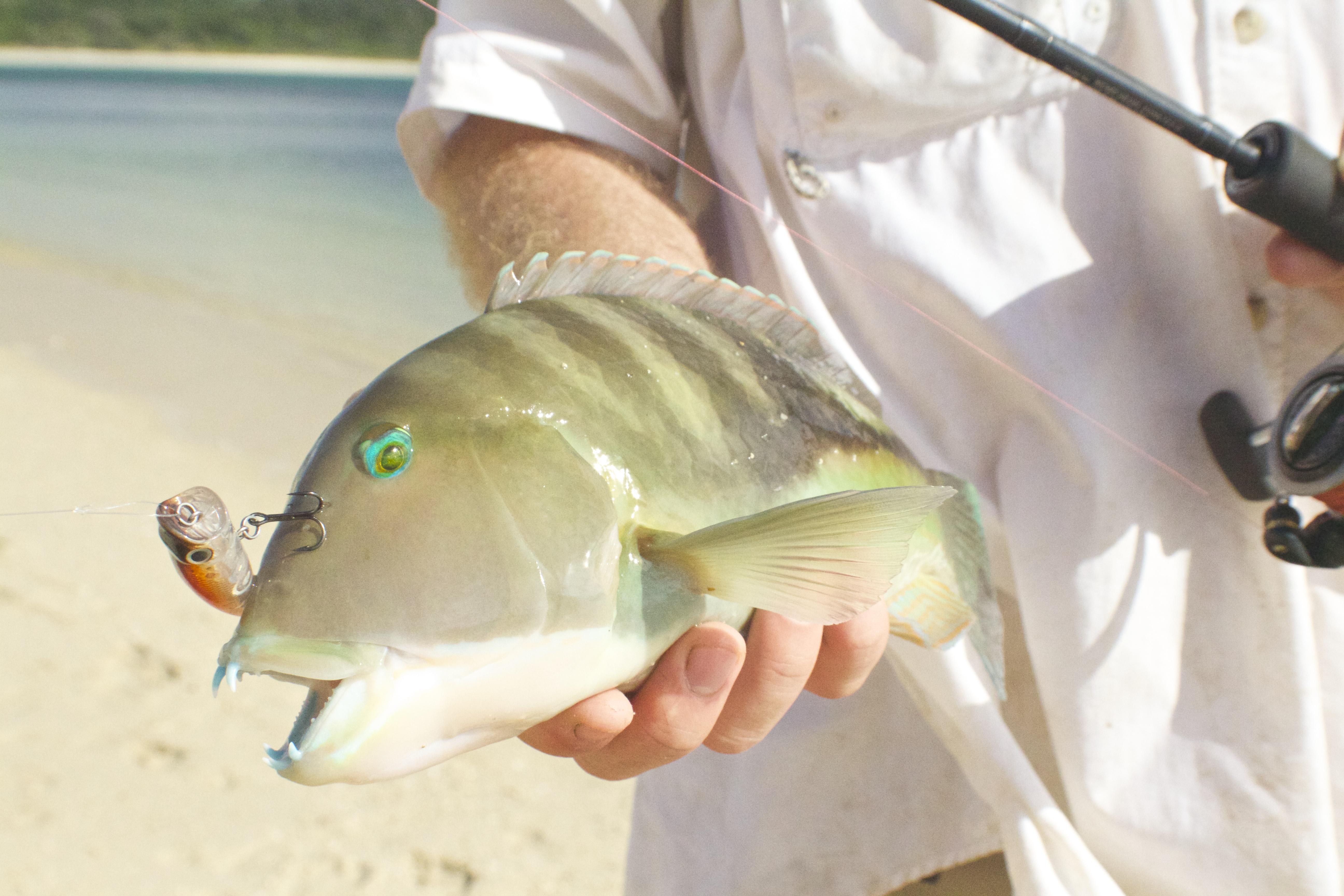 Purple Tuskfish - Choerodon cephalotes